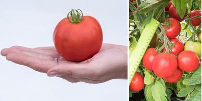 Вредители не пройдут! Тестирование томатов 'Пушистик розовый F1', 'Пушистик красный F1' и 'Алголь F1'
