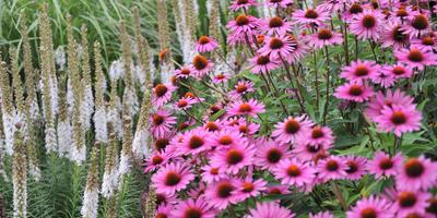 Цветочный салют для любой клумбы. Читайте журнал «Мой прекрасный» сад в январе