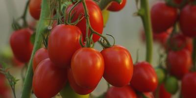 Сердечко, яйцо и слива: 3 раннеспелых урожайных гибрида томатов