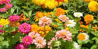 Однолетние цветы. Правила размещения в цветниках