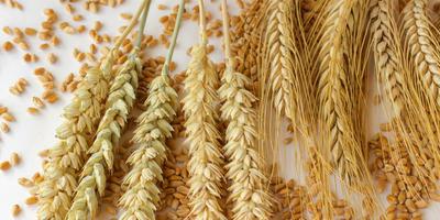 4 проверенных рецепта браги: из кукурузы, зерна, риса и крахмала