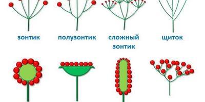 Эти загадочные соцветия: детально изучаем ромашки и зонтики, шарики и метёлки