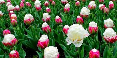 После зимовки плохо росли сортовые тюльпаны Айс Крим. Что я делаю не так?
