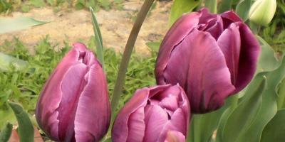 Чего не надо делать при выращивании тюльпанов