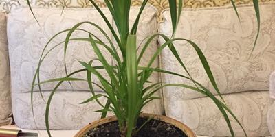 Помогите, пожалуйста, определить название растения