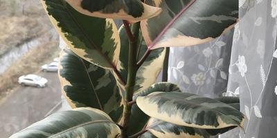 Почему сохнут листья у фикуса? Как и когда начинать его формировать?