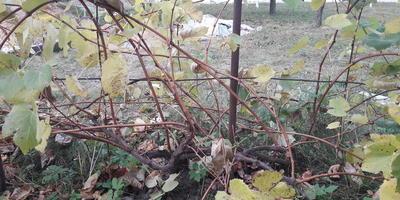 Помогите с обрезкой винограда