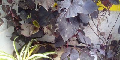 Как можно избавиться от гусениц на ипомее батат народными средствами?