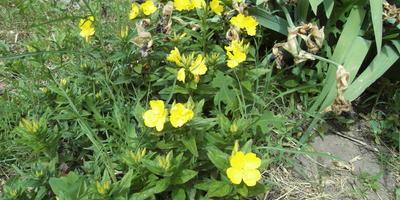 Помогите определить растение с жёлтыми цветами