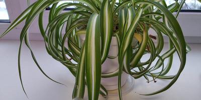 Почему у хлорофитума сохнут кончики листьев и появляются коричневые пятна?