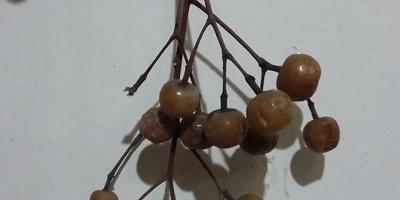 Подскажите, плодами какого дерева являются эти костянки?