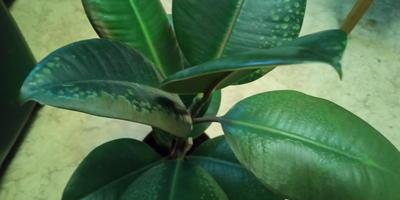 На фикусе каучуконосном появились пятна, листья засыхают. В чем причина?