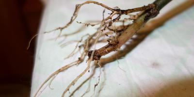 У каланхоэ обмякли листочки и стали с кончиков отмирать. Помогите его спасти!