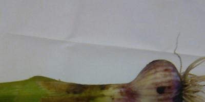 Нашла на грядке чеснок с утолщением в нижней части стебля. Это нормально?