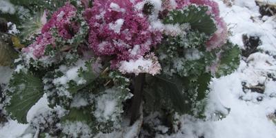 Цветы на снегу. Декоративная капуста.