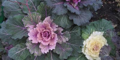 Цветы на снегу. Декоративная капуста