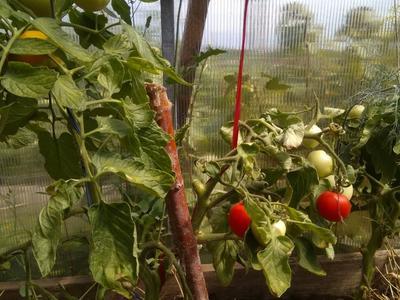 Лучший урожай томатов от Партнера