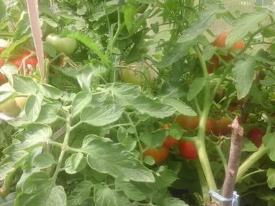 Лучший урожай томатов от Партнера 2018