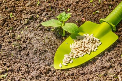 Выращивать огурцы можно как рассадным способом, так и посевом сразу в грунт