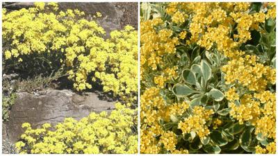 Ауриния скальная сорта Citrina, фото c сайта Espace pour la vie, Dudley Nivill Variegata, фото c сайта The Beth Chatto Gardens