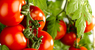 Правильно выбирайте сорта или гибриды томатов, фото с сайта file2.answcdn.com
