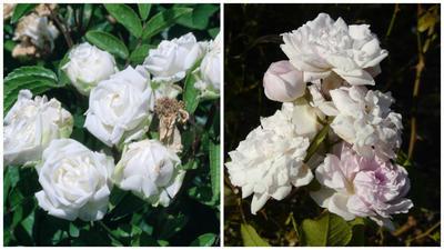Первые полиантовые розы. Сорт Paguerette, фото с сайта Wikimedia Commons и сорт Magnonette, фото с сайта dbiodbs.units.it