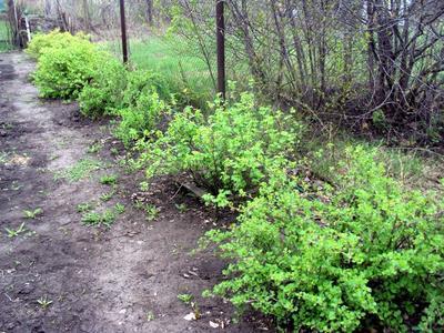 Посадить голубику на место одного из плодовых кустарников - не лучший вариант. Фото автора
