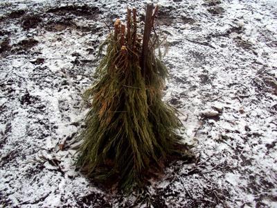 Укрытие на зиму для молодых кустов. Фото автора