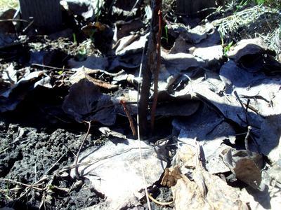 После болезни голубика может потерять ствол, но обновиться от корня. Фото автора