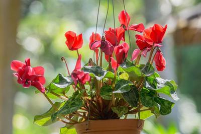 Яркие краски цикламенов в горшке принесут весеннее настроение