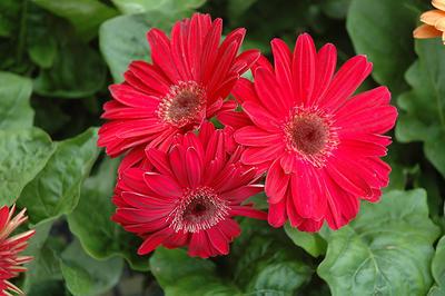 Горшечные герберы к празднику - отличная идея. Фото с сайта floriologyinstitute.com