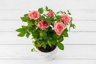 Горшечные розы – лучший подарок к 8 Марта
