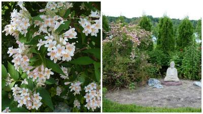 Слева кольквиция прелестная в моем объективе, справа кольквиция в композиции с другими растениями, фото сайта infojardin.com