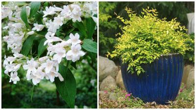 Слева кольквиция в моем объективе, справа кольквиция сорт Maradco в горшечной культуре, фото сайта vashsad.ua
