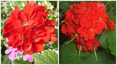 Слева пеларгония еще цветет, справа у нее уже сформированы плоды-коробочки, фото сайта pelargonium.ru
