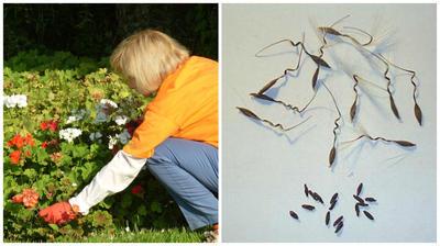 Слева - сбор созревших коробочек пеларгонии, справа семена пеларгонии, фото сайта pelargonium.ru