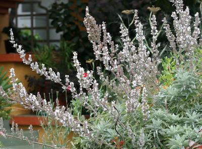 Шалфей белый White Sage. Фото с сайта anniesannuals.com