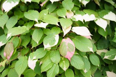 Чтобы избежать иссушения лианы, актинидию обрезают осенью