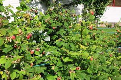 Осенью у малины вырезают отплодоносившие побеги