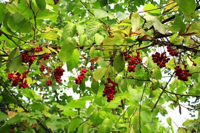 Очень важно каждую осень удалять переплетающиеся, слабые и деформированные побеги лимонника китайского