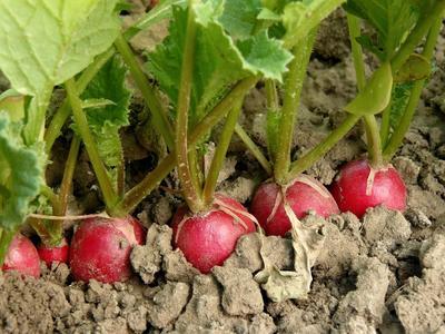 При выборе семян редиса учитывайте, что они будут посеяны под зиму!