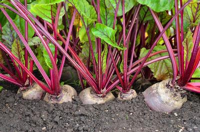 Для подзимних посевов семена овощей выбирайте особенно тщательно