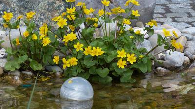 В саду калужнице больше всего понравится расти у водоема