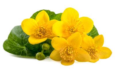 Калужницу используют как пищевое и лекарственное растение
