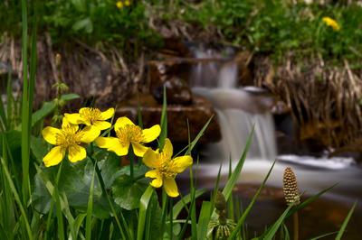 Калужница болотная - короткокорневищный травянистый многолетник