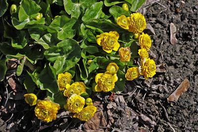 Калужница болотная сорт Flore Pleno