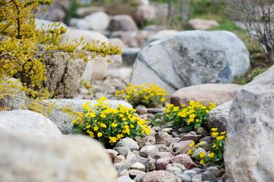 Калужнице нравится плодородная глинистая почва, солнечное местоположение