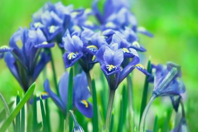 Цветут иридодиктиумы