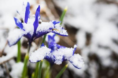 Иридодиктиумы в снегу