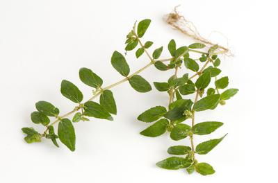 Молочай волосистый (Euphorbia pilosa) традиционно используется для лечения астмы